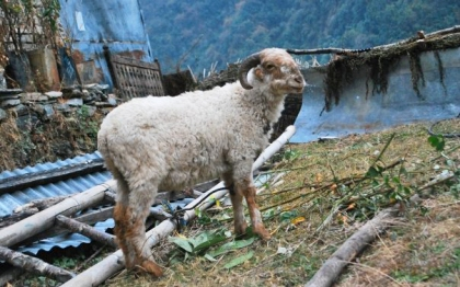 Goat to the slaughter in Jhinu Danda, Nepal. © Desiree Koh